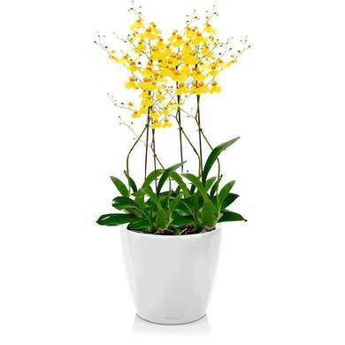 Орхидея Онцидиум + CLASSICO LS 21 Белый блестящий