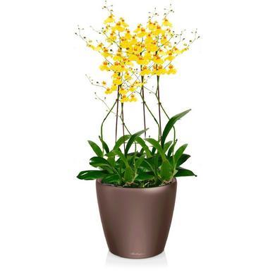 Орхидея Онцидиум + CLASSICO LS 21 Кофе металлик