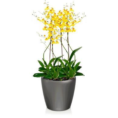 Орхидея Онцидиум + CLASSICO LS 21 Антрацитовый металлик