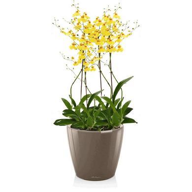 Орхидея Онцидиум + CLASSICO LS 21 серо-коричневый блестящий