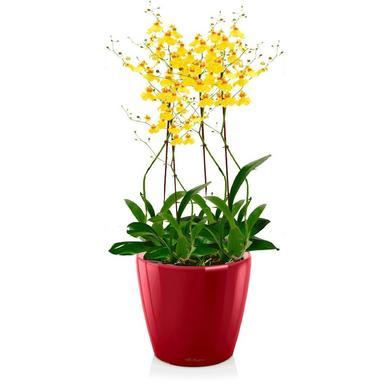 Орхидея Онцидиум + CLASSICO LS 21 Ярко-красный блестящий