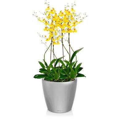 Орхидея Онцидиум + CLASSICO LS 21 Серебристый металлик
