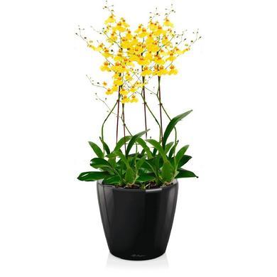 Орхидея Онцидиум + CLASSICO LS 21 Черный блестящий