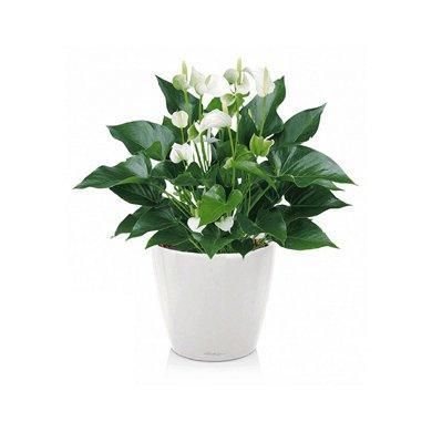 classico-ls-anthurium-white-champion_product_listingimage