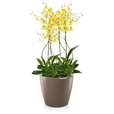 Орхидея Онцидиум в Кашпо LECHUZA CLASSICO LS 21 купить