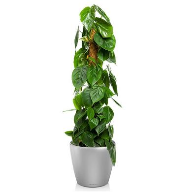 classico-ls-philodendron-scandens_product_listingimage
