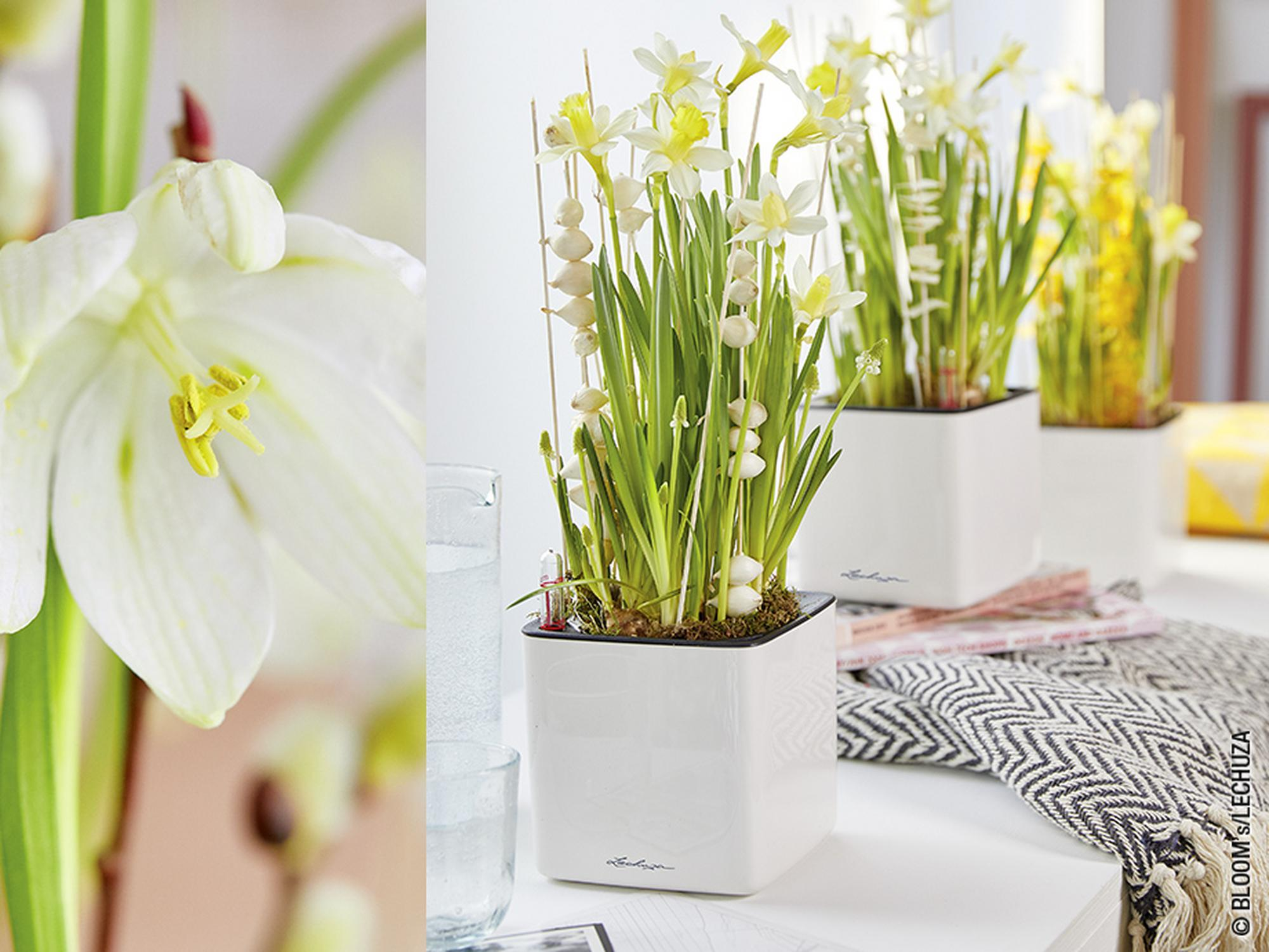 CUBE Glossy arranged with daffodils