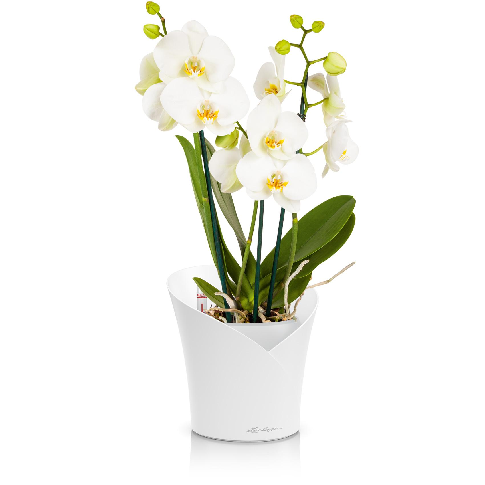 orchidea_product_listingimage