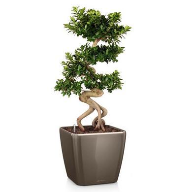 quadro-ls-ficus-bonsai_product_listingimage