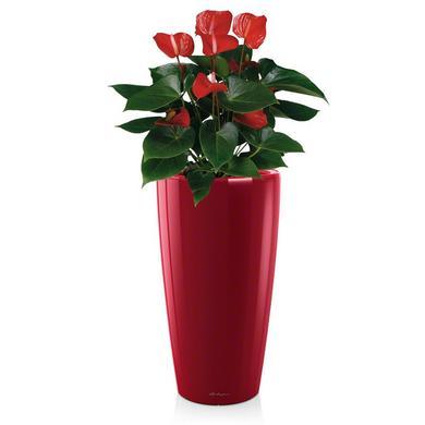 rondo-red-anthurium-andreanum_product_listingimage