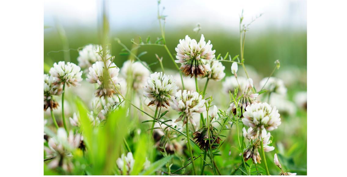 Kleeblütenwiesen