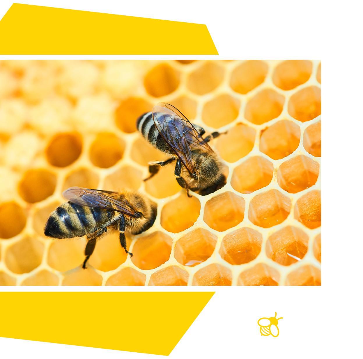 Zwei Bienchen stecken ihre Köpfe in eine Bienenwabe