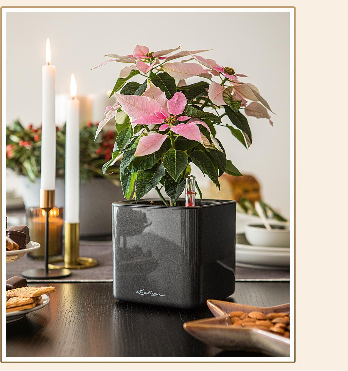 CUBE Glossy 14 anthrazit highgloss bepflanzt mit einem rosafarbenen Weihnachtsstern