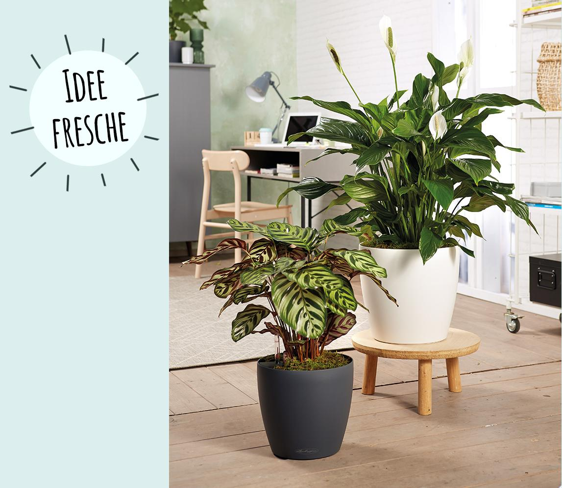 LECHUZA CLASSICO LS 35 piantato con Spathiphyllum e Calathea