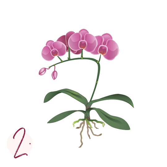 Rinvasare le orchidee Istruzioni passo 2