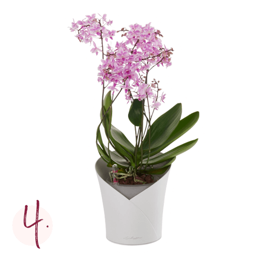 Orchideeën verpotten Stapsgewijze instructies voor het planten Stap 4