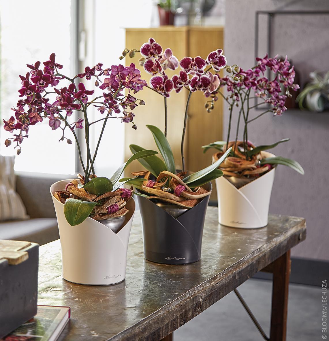 En speciaal voor de fraaie tropische bewoners heeft LECHUZA de plantbak ORCHIDEA ontwikkeld