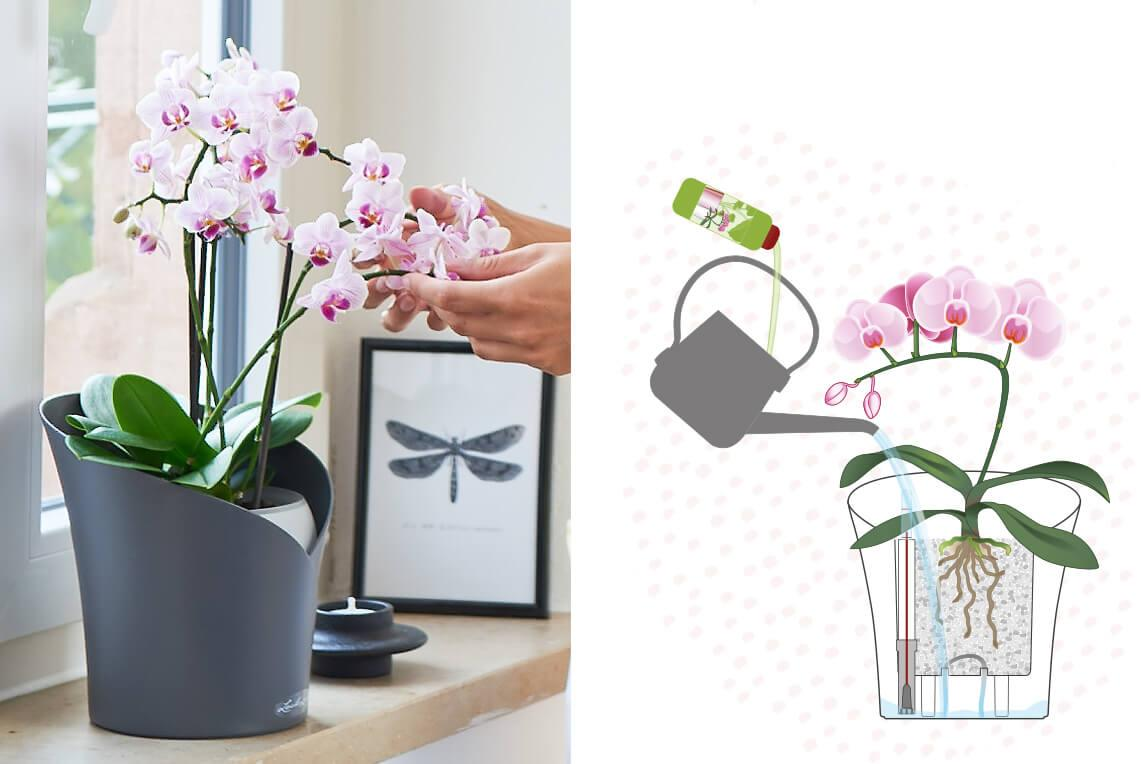Orchids correct fertilising and feeding