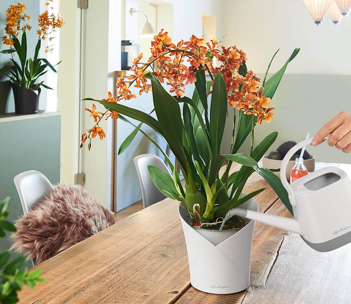 Instrucciones para regar las orquídeas