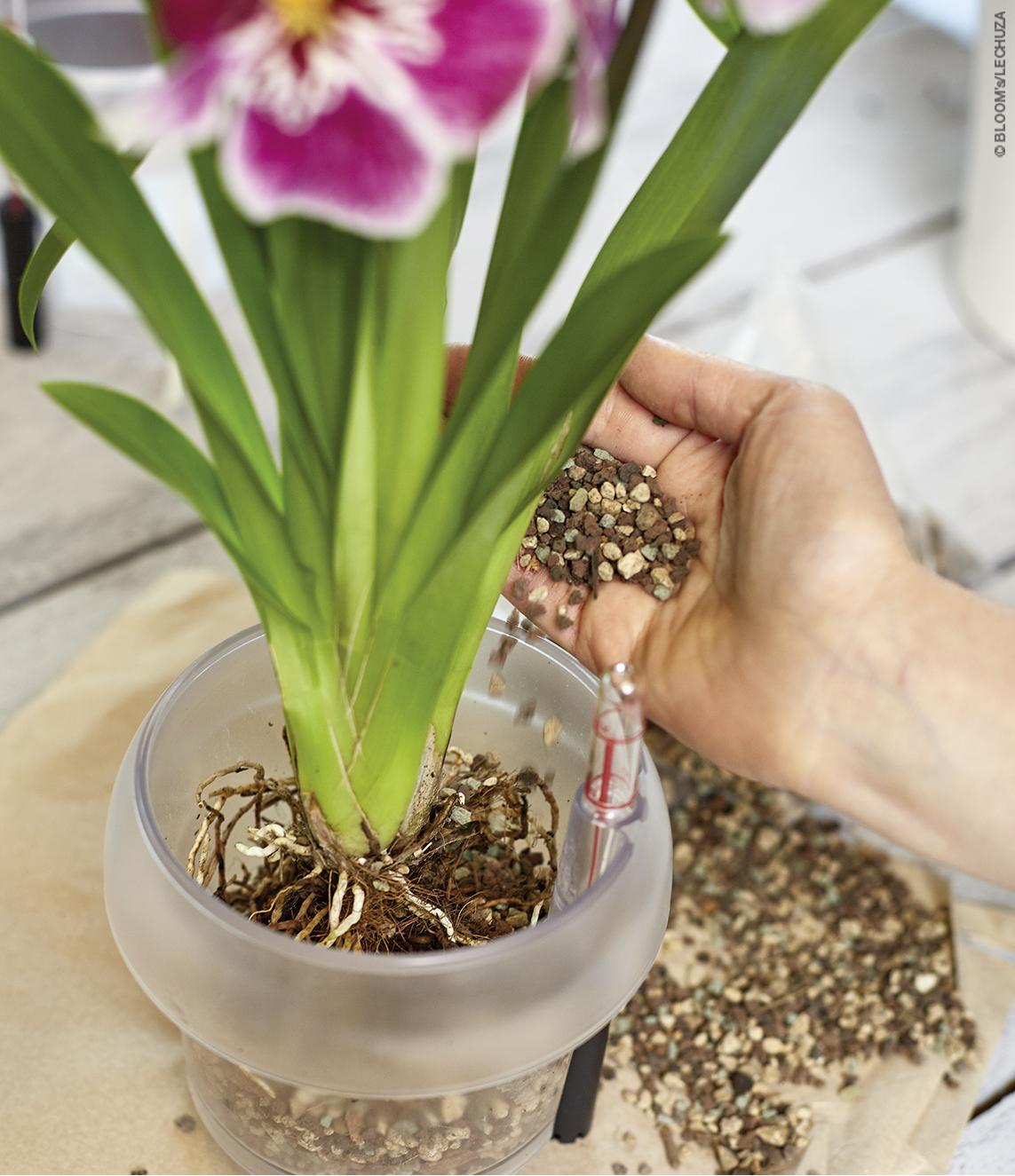 Eine Orchidee wird mit ORCHIDPON in ein ORCHIDEA Pflanzgefäß eingepflanzt.