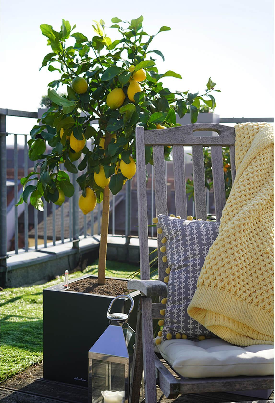 kleine citrusbomen