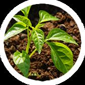 las plantas jóvenes