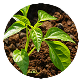 les jeunes plantes