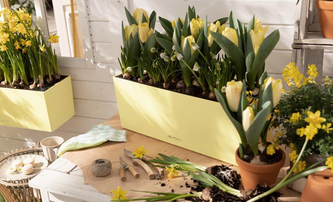 'LECHUZA Balconera Color in der Sonderfarbe lemon auf einem Pflanztisch