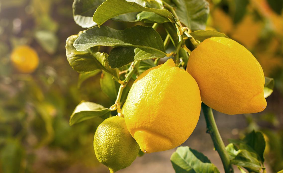 Ein Paar frische reife Zitronen hängen an einem Zitronenbaum