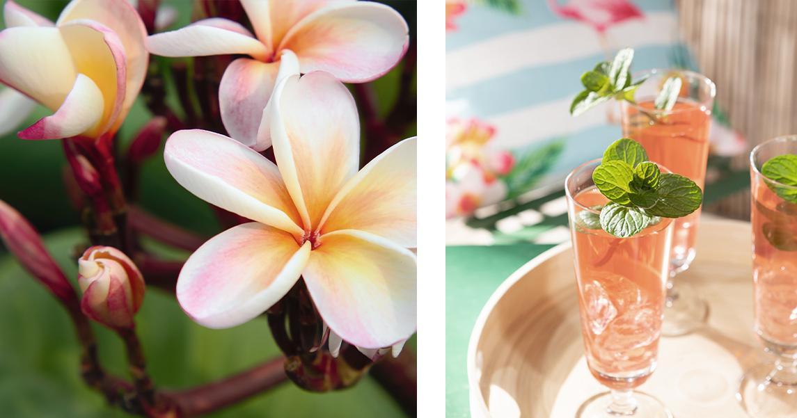 'Frangipani-Blüten auf einem Zweig und drei Gläser mit Cocktails
