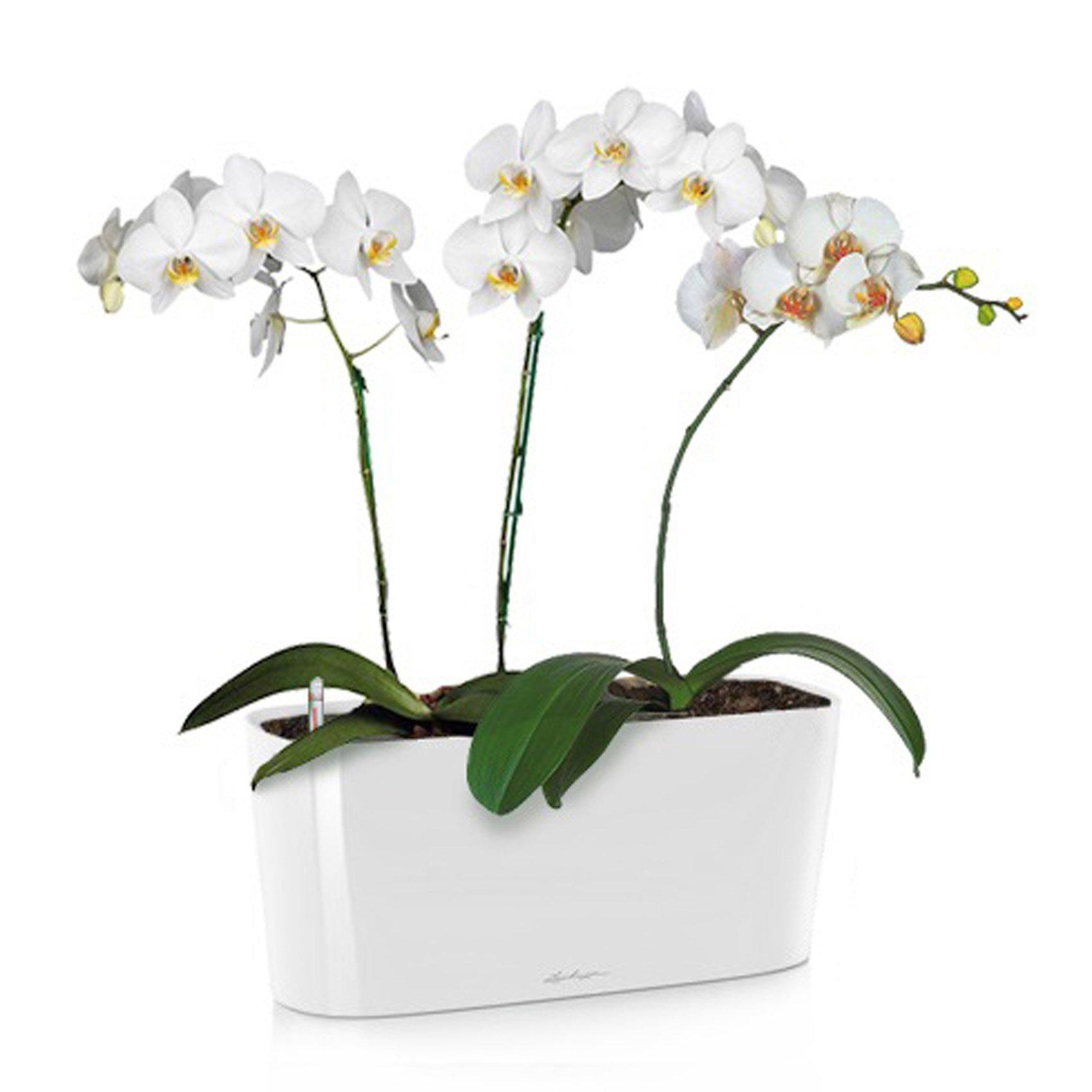 delta-20-phalaenopsis_product_listingimage