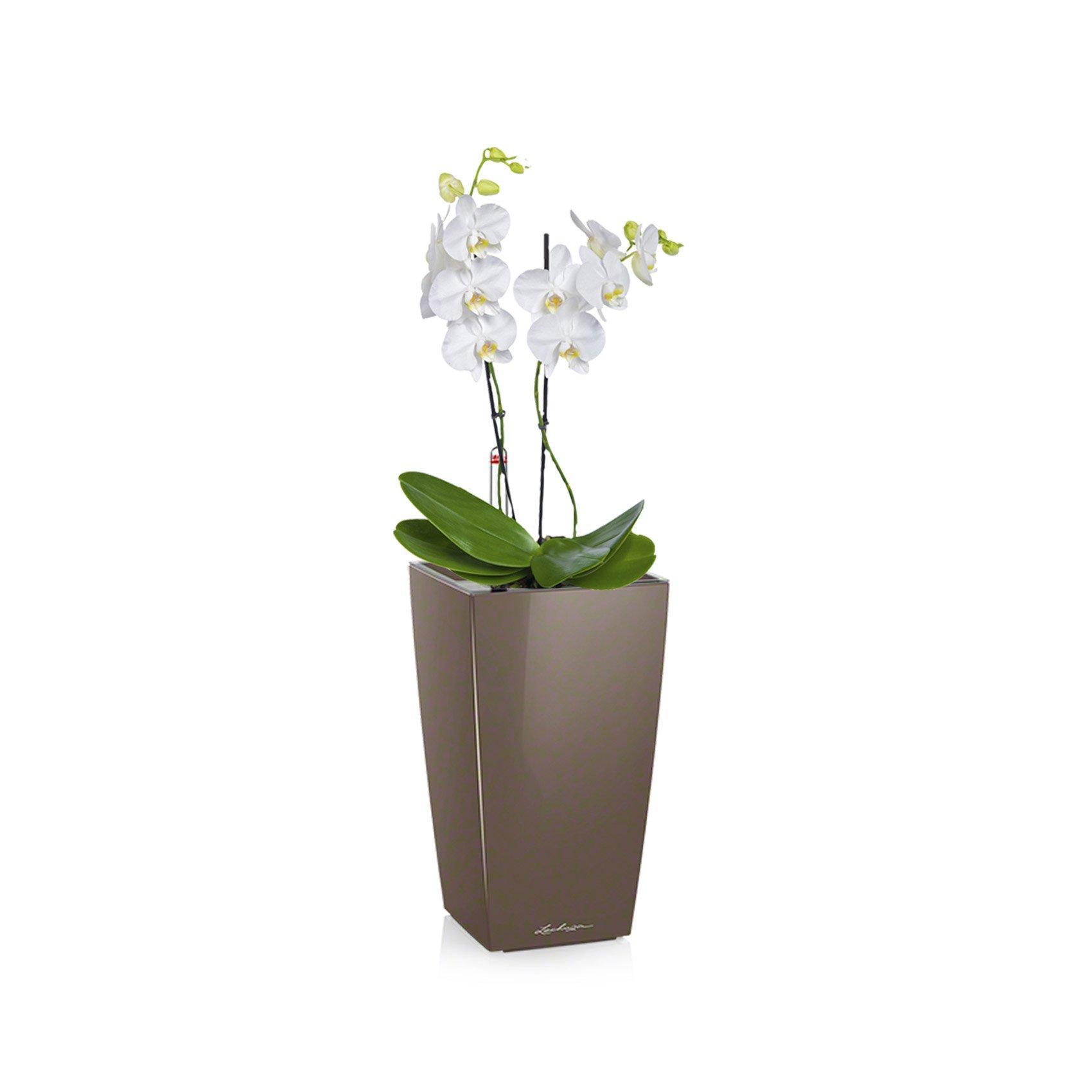 maxi-cubi-phalaenopsis_product_listingimage