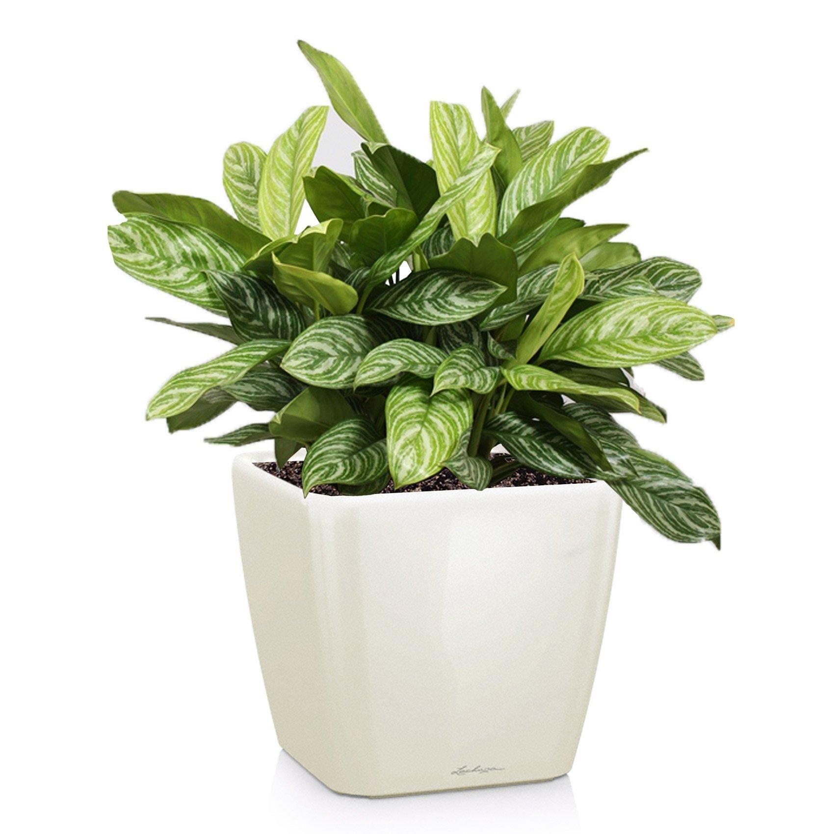 quadro-ls-aglaonema-silver-queen_product_listingimage