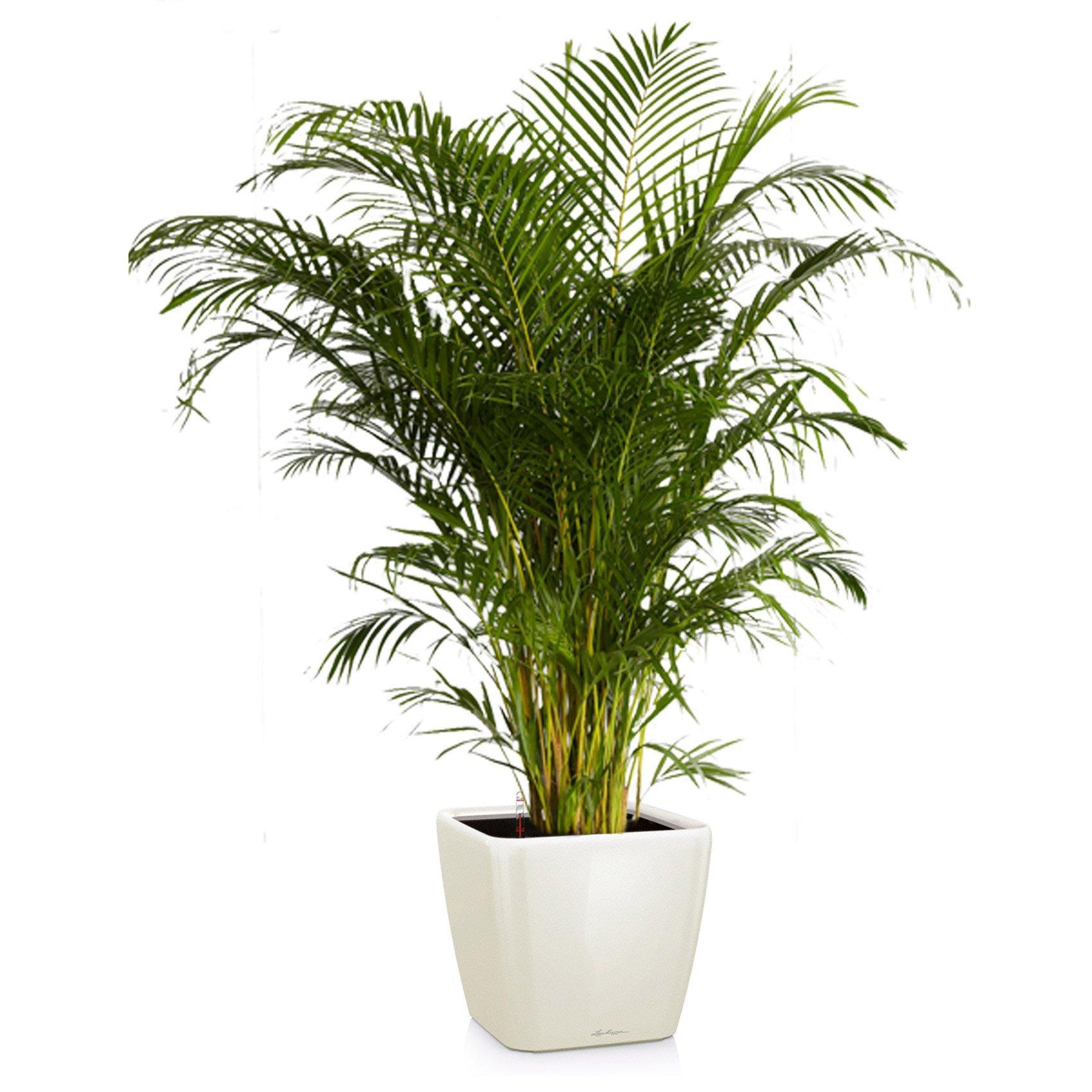 quadro-ls-chrysalidocarpus-areca_product_listingimage