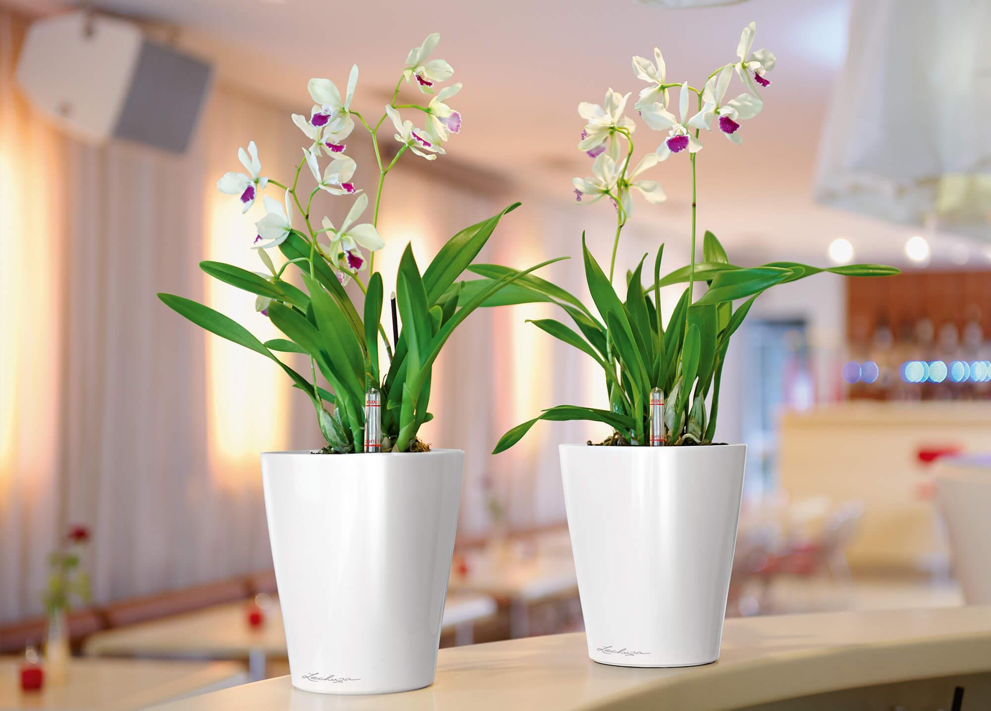 le_tw-orchideen_deltini_w_slider