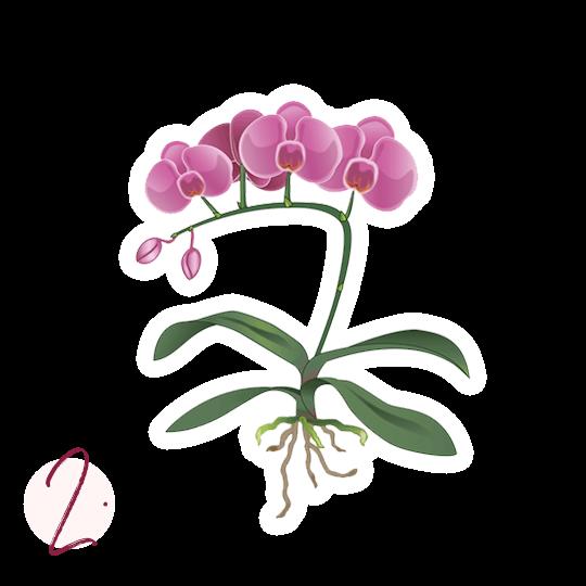 Trasplante de orquídeas Instrucciones de plantado paso 2