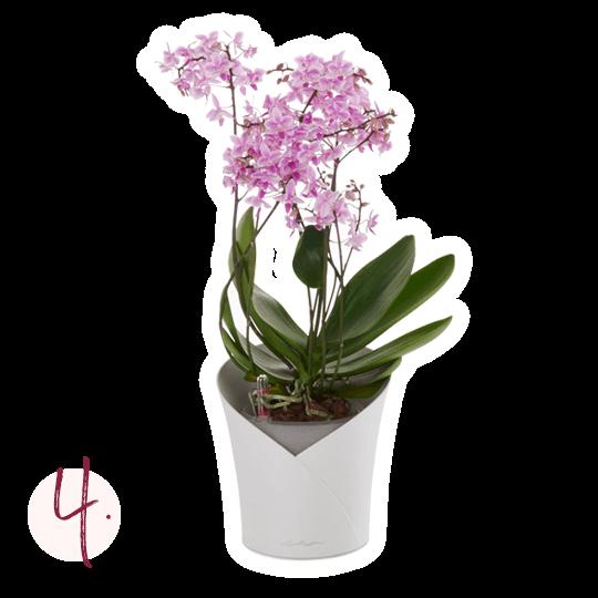 Trasplante de orquídeas Instrucciones de plantado paso 4