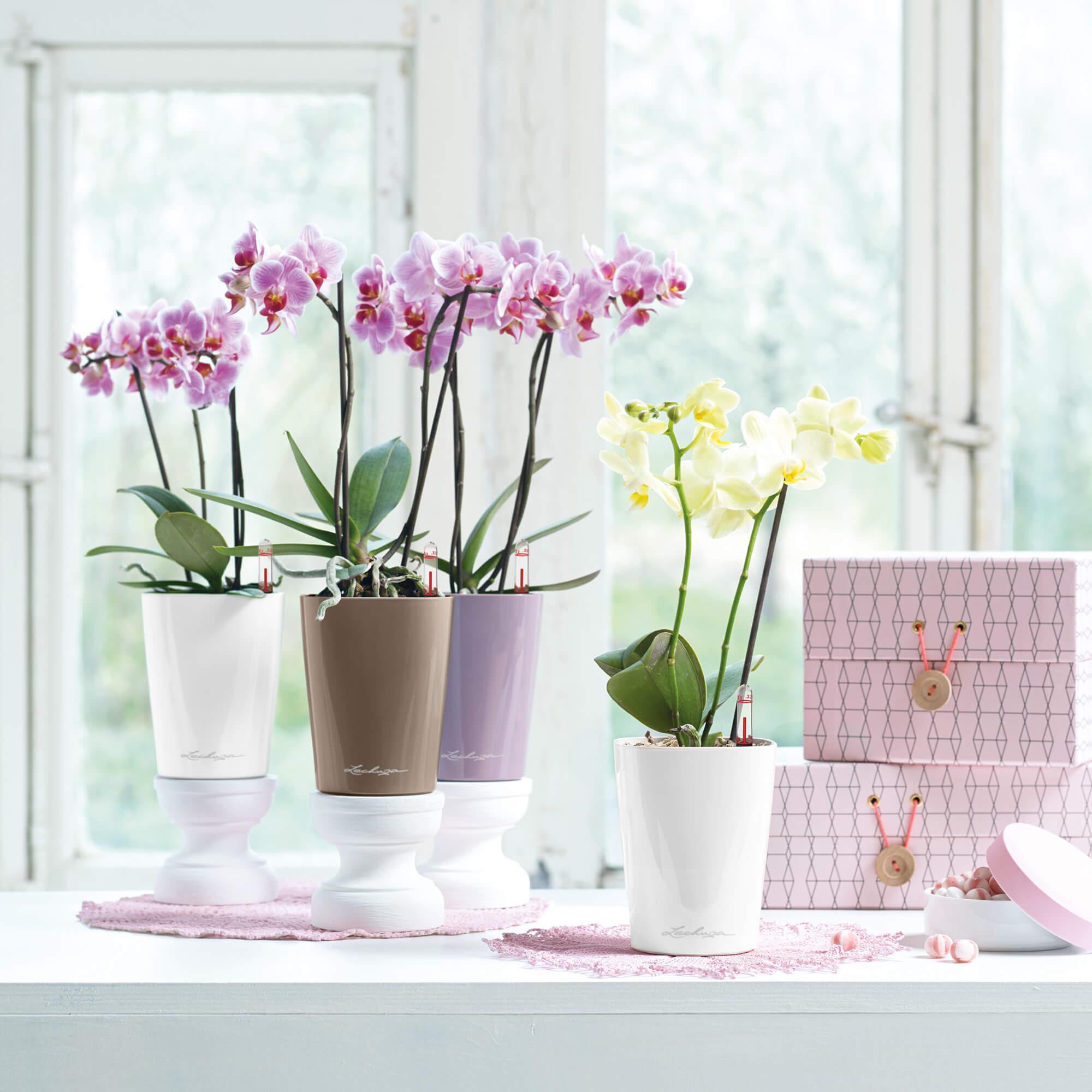 le_tw-orchideen_minideltini_bunt